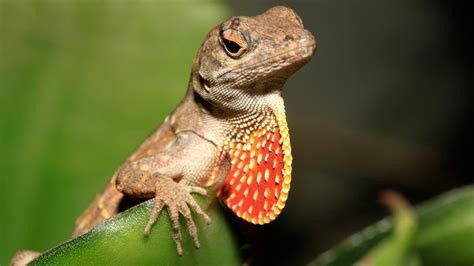 Are newer brown anoles driving away Louisiana's green