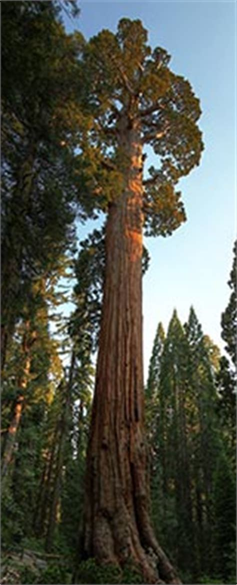 The General Grant Tree - Sequoia & Kings Canyon National