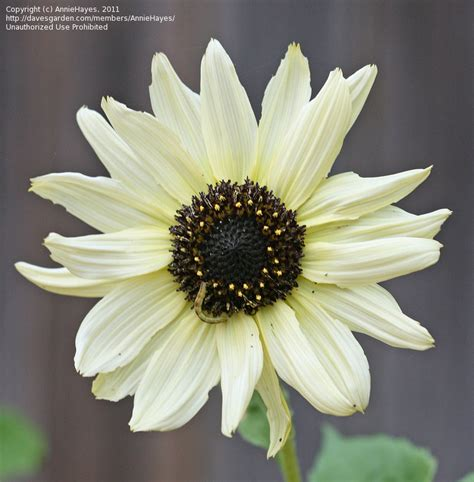 PlantFiles Pictures: Helianthus, Annual Sunflower, Common